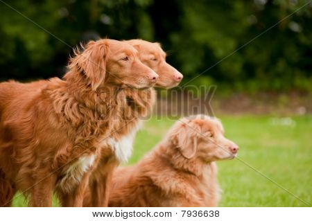 Tolling Retrievers