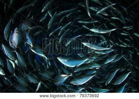 School of shoal of Mackerel fish underwater in sea