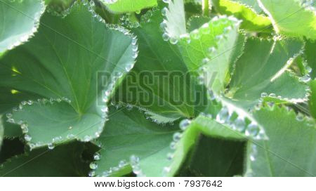 Lady's Mantle Dew
