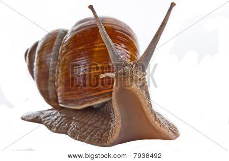 Grape Snail