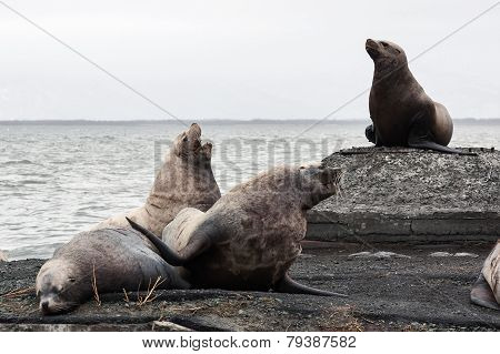 Group Northern Sea Lion (eumetopias Jubatus) On Rookery. Kamchatka