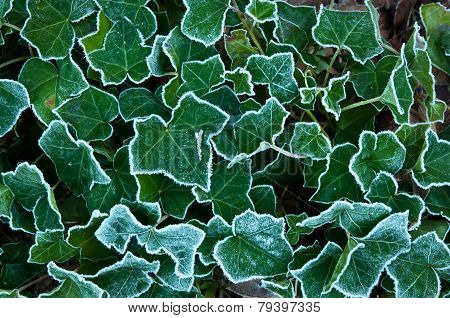 Frosted Border On Ivy Leaves