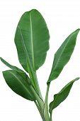 Musa acuminata sumatrana banana leaves plant isolated on white background poster