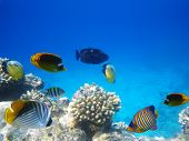 Underwater photo of hard-coral reef with fishes, Egypt poster