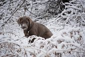Rare silver lab puppy poses in the snowy bushes. poster