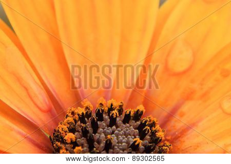 Orange Osteospermum with water droplets on petals poster