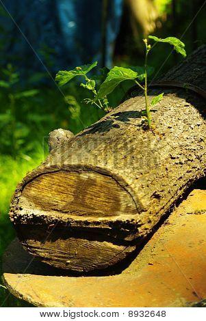 Growing a tree felled.