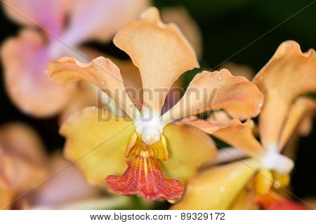 Yellow Vanda Tay Chay Yan Hybrib orchid poster