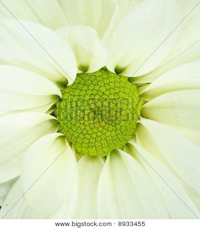 detail of white Chrysanthemum