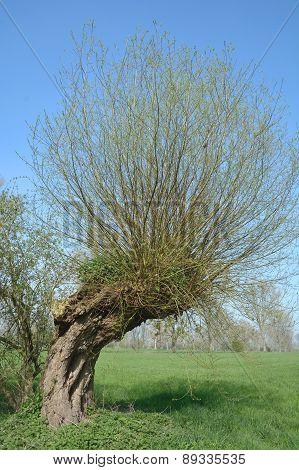 Pollard Willow or Salix Alba at Lower Rhine region in Rhineland,North Rhine Westphalia,Germany