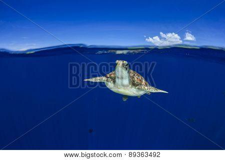 Green Sea Turtle: half and half split shot of underwater turtle and blue sky island above