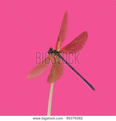 Male beautiful demoiselle, Calopteryx virgo, on a blade of grass in front of a pink background