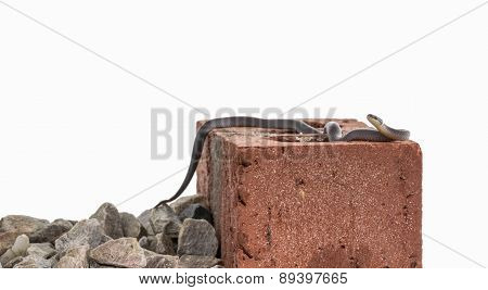 Ringneck Snake On Brick