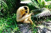 Golden cheek gibbon also known as yellow-cheeked gibbon (Nomascus gabriellae) peeking through a leaf. poster