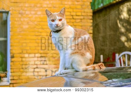 White And Cream Colored Cat With Amber Eyes Sitting On The Car