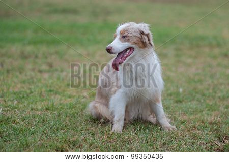 Australian Shepard dog sitting at park