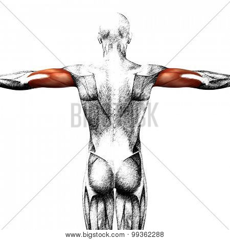 Concept or conceptual 3D triceps human anatomy or anatomical and muscle sketch isolated on white background poster