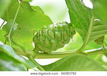 Fruit Of The Morinda