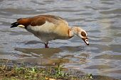 egyptian goose feeding in the shallow water poster