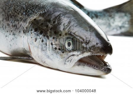 Salmon isolated on white background. Head closeup with open mouth