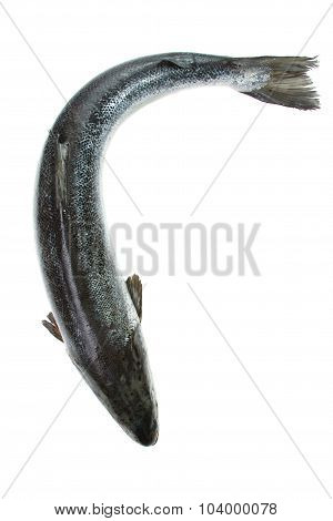 Whole salmon isolated on white. Top view