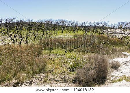 Landscape After Bushfire. Booderee National Park. Nsw. Australia