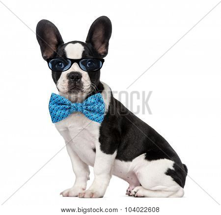 French Bulldog puppy (3 months old) wearing glasses and a bow tie