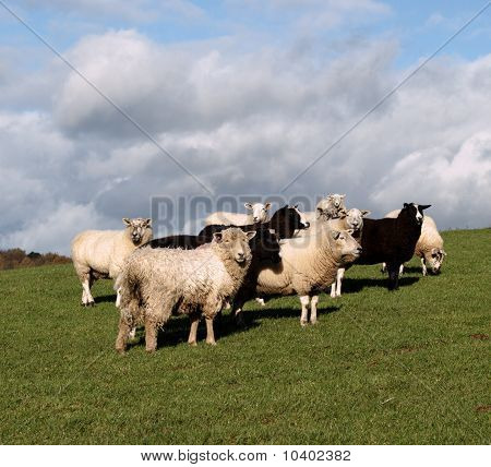 A Flock Of Brown And White Sheep