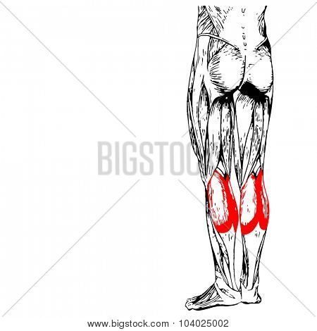 Concept or conceptual 3D gastrocnemius human lower leg anatomy or anatomical and muscle isolated on white background poster