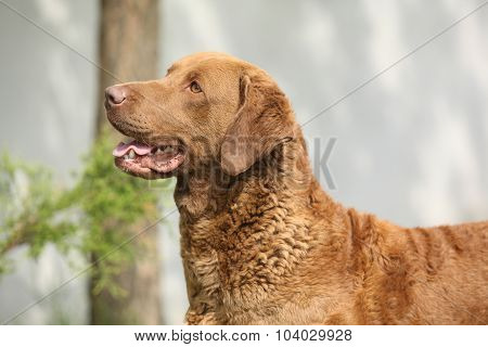 Bautiful Chesapeake Bay Retriever