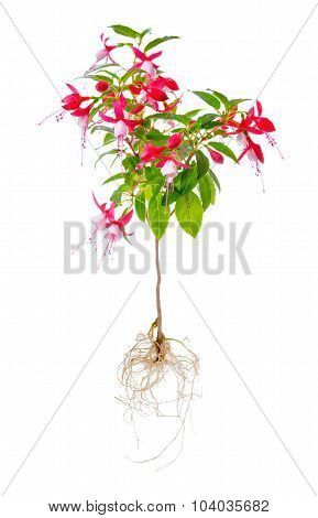 Blooming Beautiful Stam Tree Of Red And White Fuchsia Flower With Roots Is Isolated On White Backgro