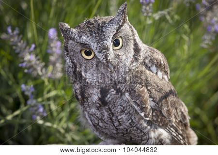Close Up Of Screech Owl.