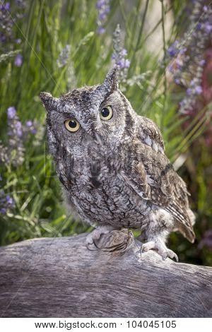 Little Screech Owl On Log.