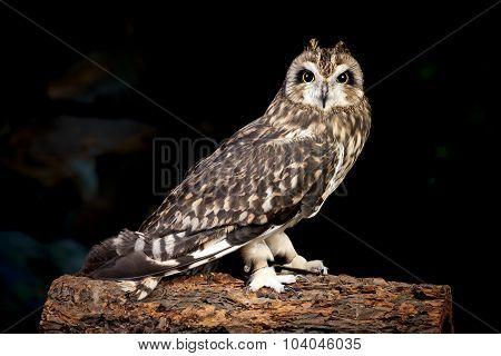 Short Eared Owl.