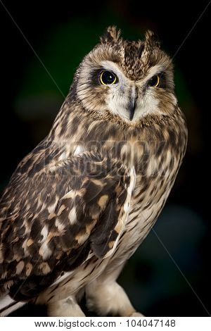 Majestic Short Eared Owl.