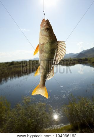European perch (Perca fluviatilis). Against the background of the river