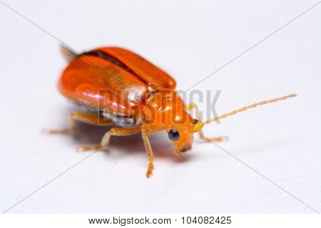 Close up Cucurbit leaf beetle Aulacophora indica on a white background