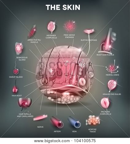 Skin Anatomy In The Round Shape, Detailed Illustration
