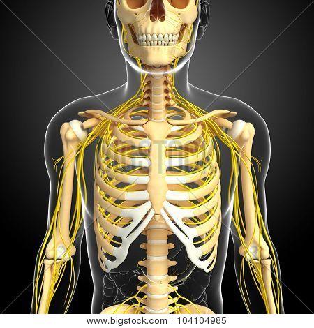 Nervous System Of Male Ribcage Skeleton Artwork