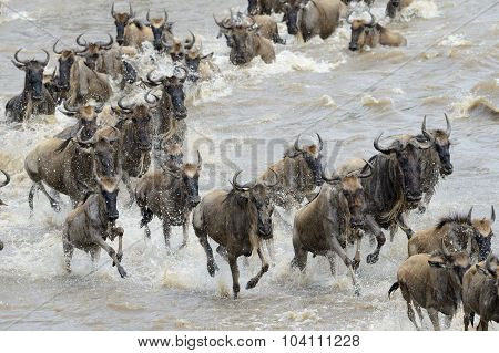Wildebeests migration