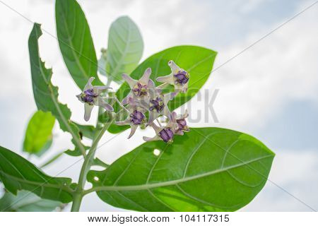 Colorful White And Purple Flower, Crown Flower, Giant Indian Milkweed, Gigantic Swallowwort (calotro