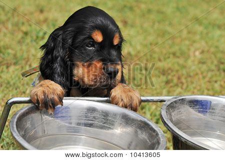 portrait of a puppy purebred english cocker drinking in a bowl poster
