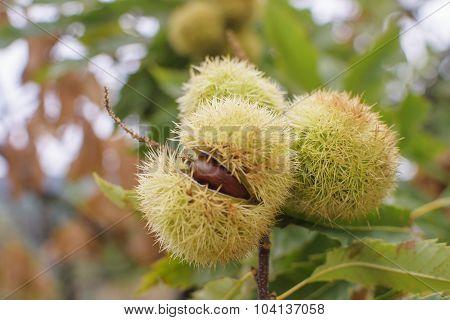 Chestnut (castanea Sativa) Fruit In A Branch