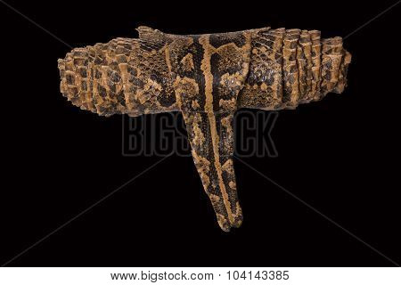 Brown leather snake coiled on a black background poster
