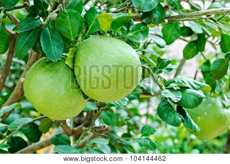 Pomelo Fruit Hanging On The Tree