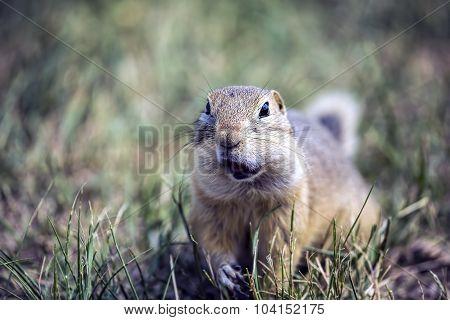 Chewing Groundhog