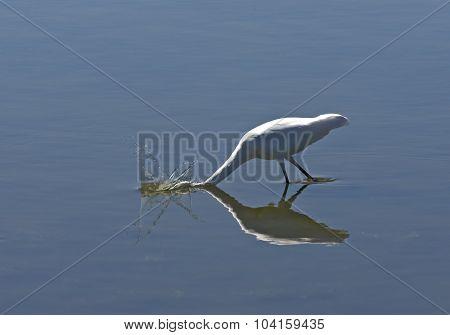 Great Egret Bobbing For Fish