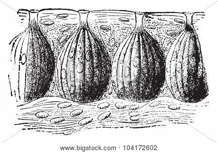Taste buds, vintage engraved illustration.