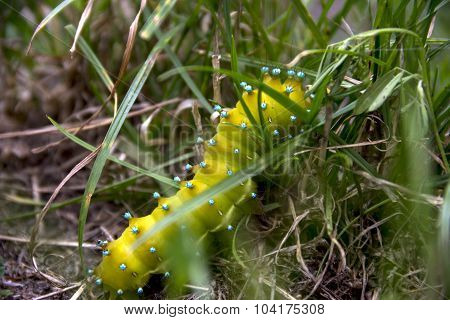 The big catterpillar of saturnia pyri butterfly at the ground