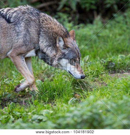Gray/Eurasian wolf (Canis lupus)